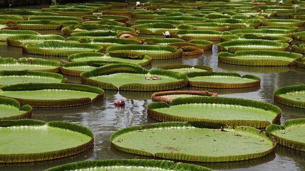 Seerose Victoria Amazonica hat das weltgrößte Blatt