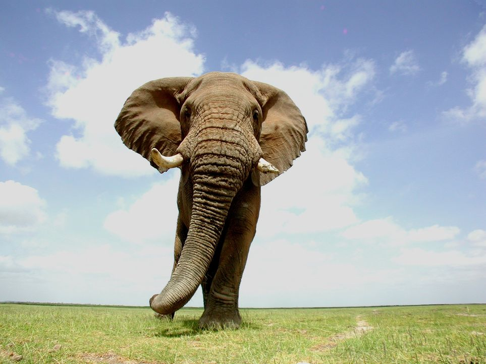 Der Afrikanische Elefant gehört zu den beliebtesten und beeindruckensten Tieren der Welt. Für die BBC-Dokumentation begleiten Tierfilmer eine Herde... - Bildquelle: John Downer John Downer Productions
