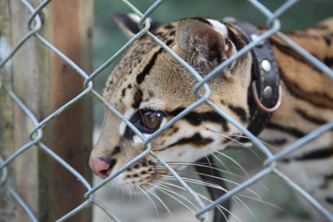 Der illegale Handel mit Wildtieren im Amazonas-Dschungel hat in den letzten Jahren einen beispiellosen Anstieg erlebt und Dutzende Arten sind vom Au... - Bildquelle: Quicksilver Media, 2016.