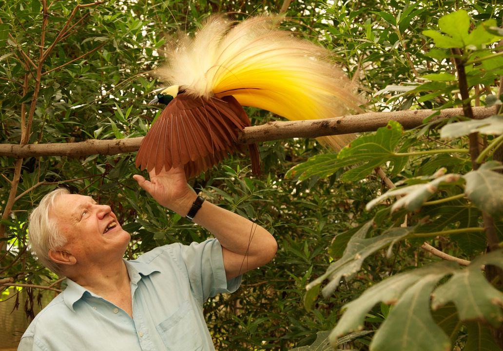 56 Jahre nach seiner ersten Begegnung mit einem Paradiesvogel in freier Wildbahn, bekommt Sir David Attenborough nun eine hautnahe Nahaufnahme in de... - Bildquelle: Gavin Thurston Gavin Thurston