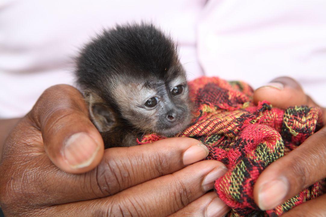 Affenschmuggel leicht gemacht: Der illegale Handel mit Wildtieren in Peru hat in den letzten Jahren einen beispiellosen Anstieg erlebt ... - Bildquelle: Quicksilver Media, 2016.
