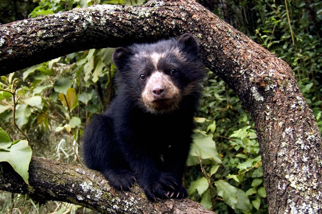 Ein Bärenbaby entdeckt seine Welt: Mit den versteckten Kameras gelingen Tierfilmer David Attenborough und seinem Team einmalige Aufnahmen in den ers... - Bildquelle: John Downer Productions
