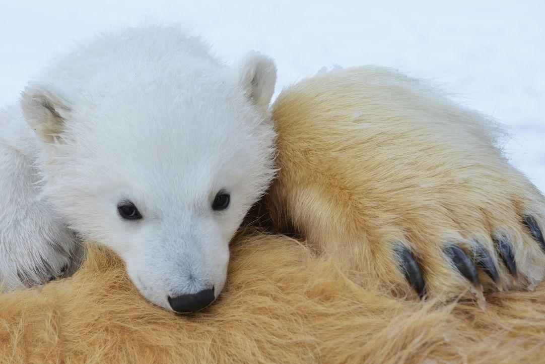 Als stiller Gefährte der Eisbärenmama Lyra und ihren Jungen Miki und Luca, kommt Gordon Buchanan den Tieren so nah wie noch nie jemand vor ihm ... - Bildquelle: Gordon Buchanan