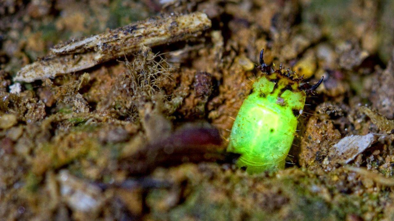 Zauberhaftes Farbenspiel der Naturwissenschaften: Die Lumineszenz bei Käfern und anderen Tieren beruht auf Chemie. - Bildquelle: BBC 2015