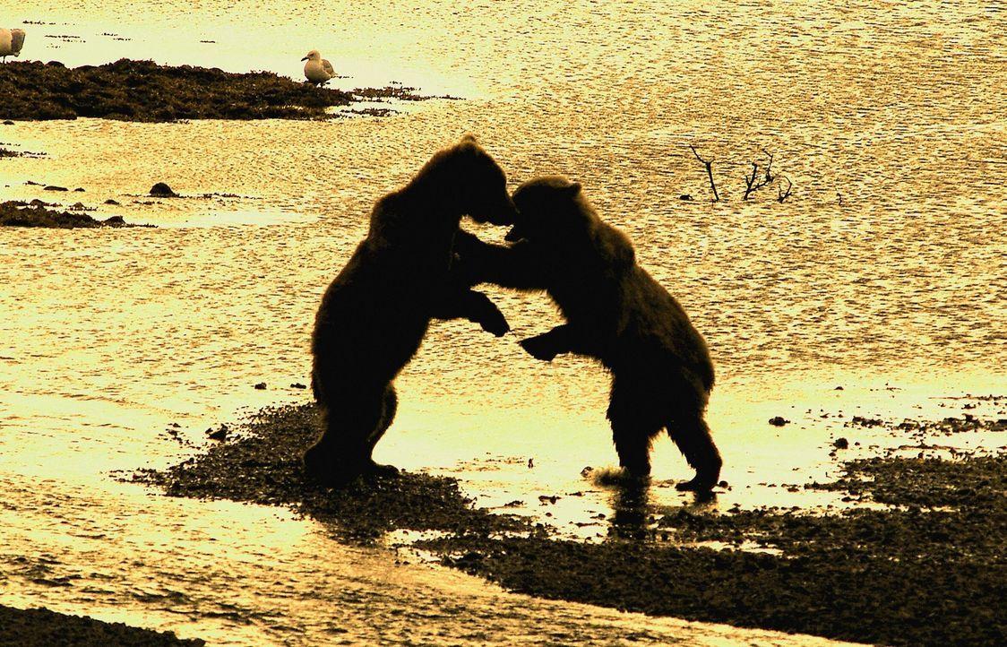 """Die Kameras von """"Bears - Spy in den Woods"""" liefern beeindrucke Aufnahmen von dem Grizzlybären beim Sonnenuntergang in Nordamerika. - Bildquelle: Philip Dalton/JDP Productions"""