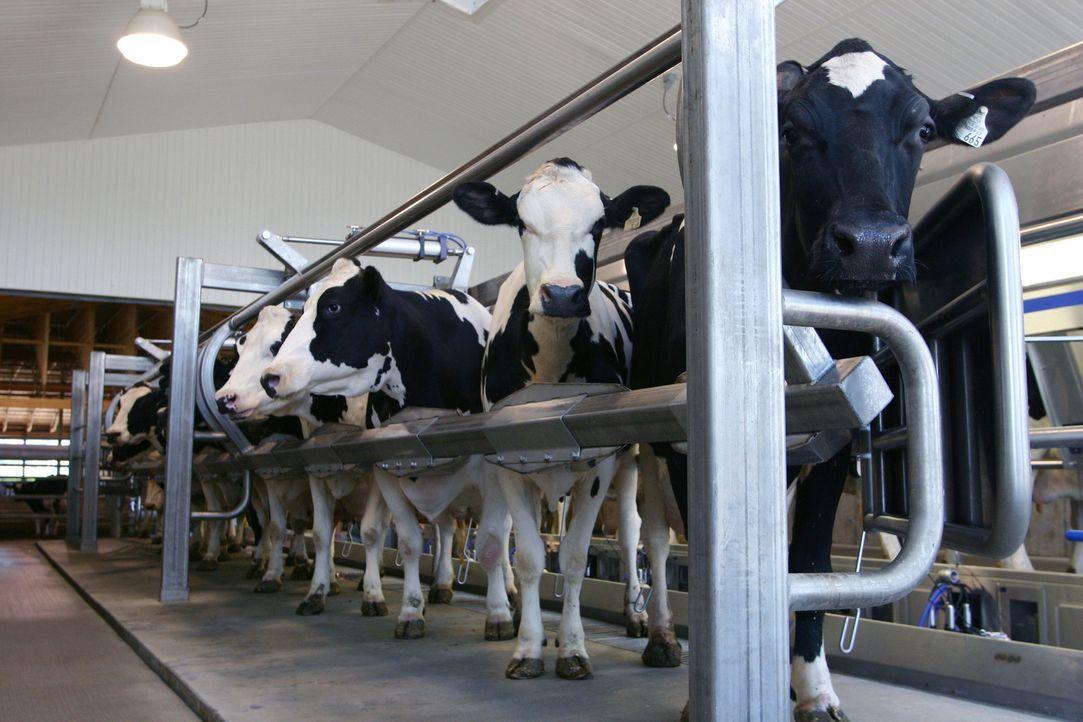 """""""Moderne Wunder"""" begibt sich auf die Spuren der Milch. Von der Kuh bis zu den verschiedensten Produkten ... - Bildquelle: DeLaval Inc."""
