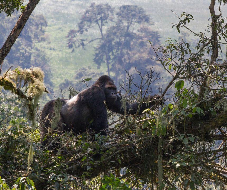 In den gefährlichen Wäldern der Demokratischen Republik Kongo trifft Tierfilmer Gordon Buchanan auf Chimanuka, den furchterregenden Anführer einer G... - Bildquelle: Patrick Evans BBC/Patrick Evans 2015