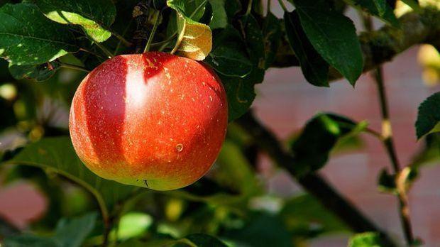Ein reifer Apfel hängt am Zweig des Apfelbaums