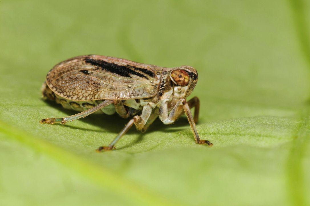 Auf der Erde existieren rund 10 Trillionen Insekten. Sie bevölkern den Planeten seit Urzeiten. Viele Kulturen achten, fürchten oder verehren sie als... - Bildquelle: Superstock