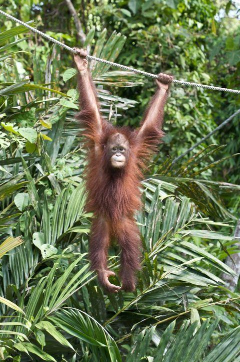 Affenstark: Tierfilmer Sir David Attenborough reist seit 60 Jahren um die Welt und filmt Wilddtiere wie den jungen Orang Utan im Sepilok Rehabilitat... - Bildquelle: Adam Scott Adam Scott