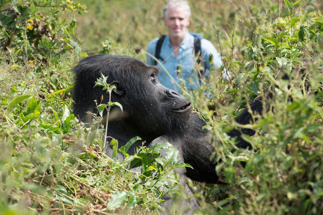 Hautnah bei den Gorialls: Tierfilmer Gordon Buchanan kommt den Gorillas in der Demokratischen Republik Kongo so nah wie kaum ein Mensch zuvor... - Bildquelle: Patrick Evans BBC/Patrick Evans 2015