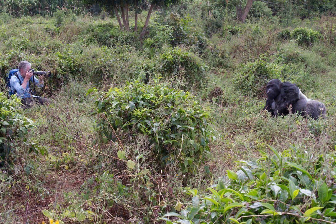 Können Tierfilmer Gordon Buchanan (Foto) und die Rangers im kongolesischen Dschungel die Zukunft der Gorilla-Familie sichern? Wilderer bedrohen das... - Bildquelle: Patrick Evans BBC/Patrick Evans 2015