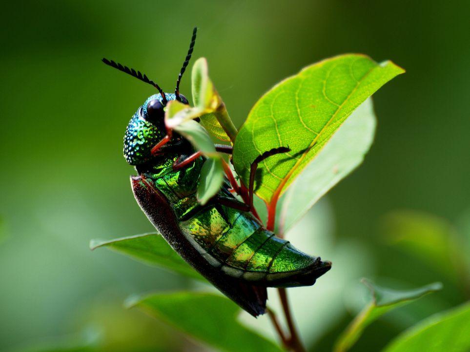 Auf der Erde existieren rund 10 Trillionen Insekten. Sie bevölkern den Planeten seit Urzeiten. Viele Kulturen achten, fürchten oder verehren sie als... - Bildquelle: Getty Images