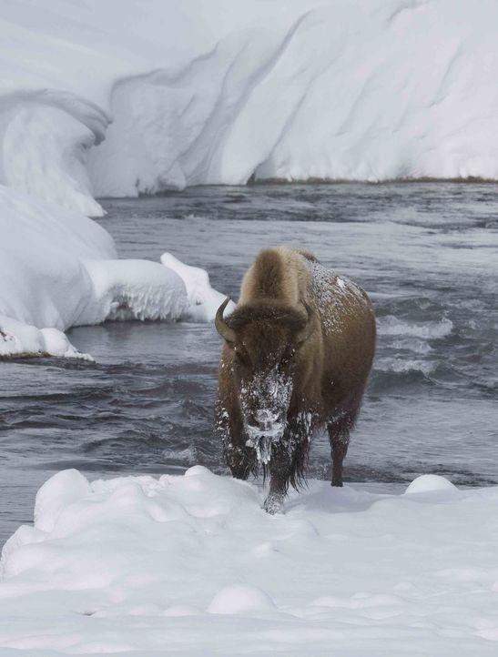 Der Yellowstone Nationalpark im Herzen Nordamerikas ist der älteste Nationalpark der Welt: Knapp drei Millionen Besucher besuchen jedes Jahr den Par... - Bildquelle: Andrew Weller 2008 BBC