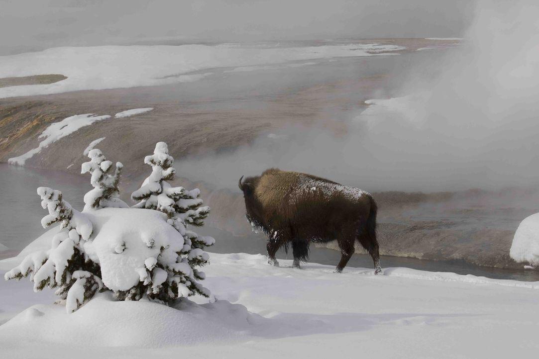 Der Yellowstone Nationalpark im Herzen Nordamerikas ist der älteste Nationalpark der Welt: Knapp drei Millionen Besucher besuchen jedes Jahr den Par... - Bildquelle: Kathryn Kasic 2008 BBC