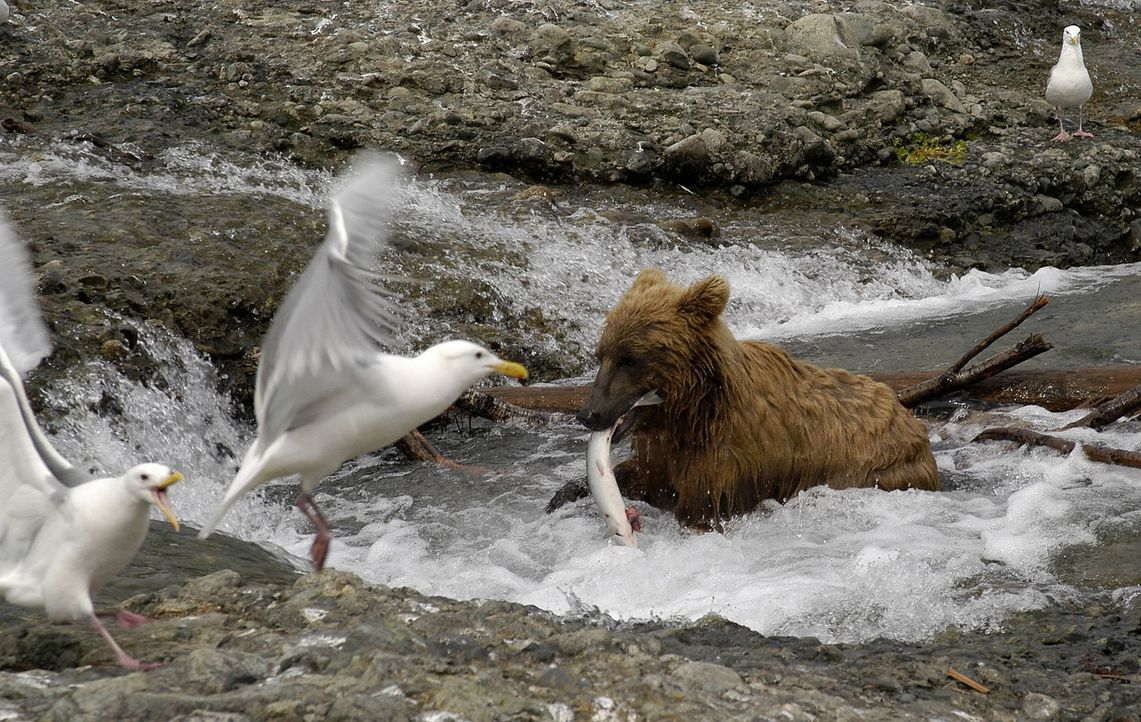 Fressen und gefressen werden: Der Grizzlybär angelt sich einen Lachs zum Frühstück ... - Bildquelle: Philip Dalton/JDP Productions