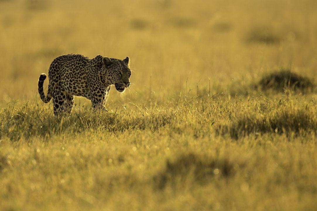 Räuberin der Savanne: Die Leoparden-Mutter stöbert ihre Beute beim Umherstreifen in ihrem Revier auf. Für die Dokumentation begleitet der Kameramann... - Bildquelle: Carole Deschuymere Icon Films / Carole Deschuymere