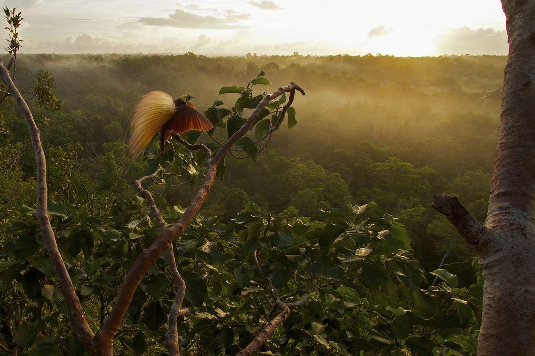 Wunderschöner Ausblick: In den Baumkronen auf dem Aru-Inseln vor Indonesien sitzt ein Paradiesvogel und zeigt sein besonderes Gefieder, um Weibchen... - Bildquelle: Tim Laman Tim Laman