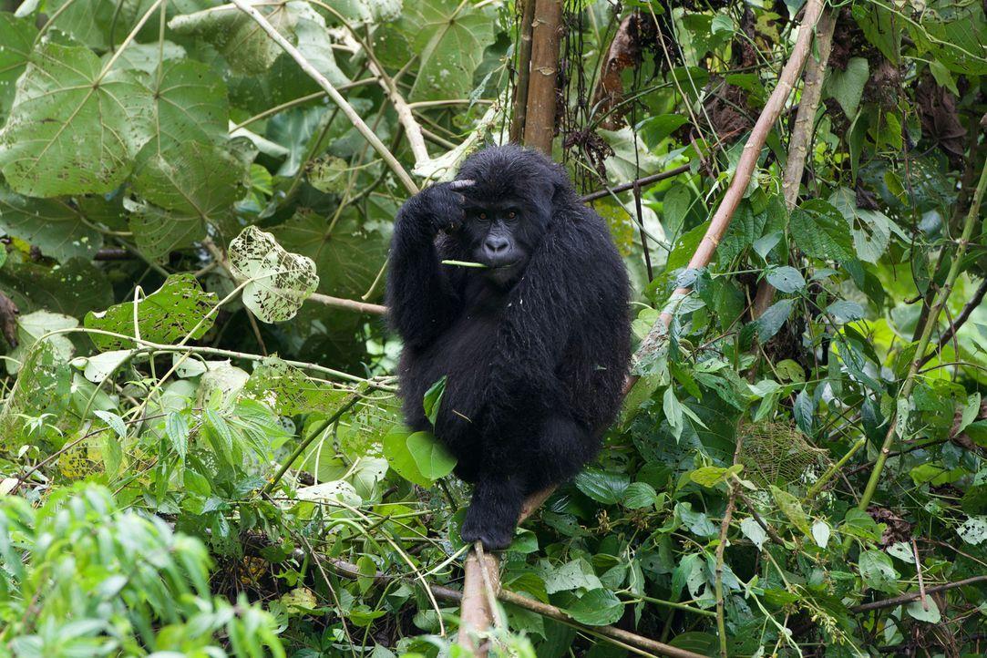 BBC-Tierfilmer Gordon Buchanan realisiert seinen lang gehegten Traum und versucht, das Vertrauen einer Familie von Gorillas zu gewinnen. - Bildquelle: Patrick Evans BBC/Patrick Evans 2015