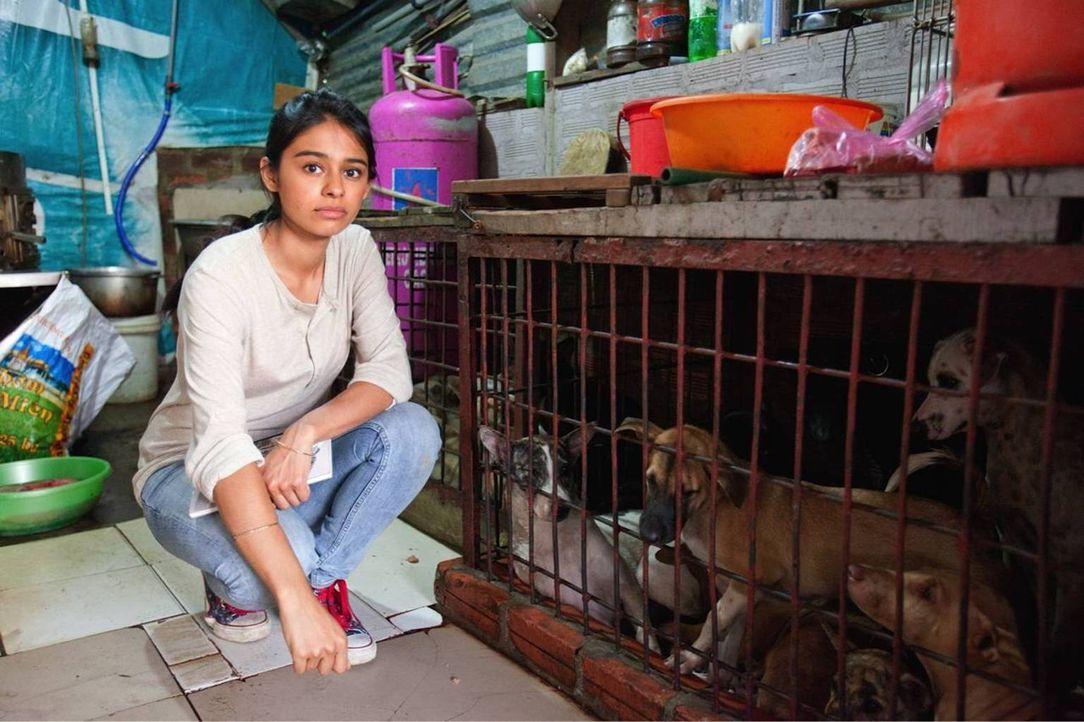 Reporter Nelufar Hedayat reist nach Vietnam und enthüllt grausame Verbrechen an Tieren, insbesondere an Hunden - sie werden gestohlen, verkauft und... - Bildquelle: Quicksilver Media