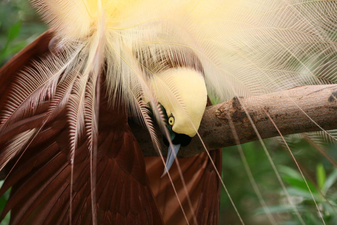 Der indonesische Paradiesvogel zeigt sein besonderes Gefieder, um während der Paarungszeit Weibchen zu beeindrucken. - Bildquelle: Miles Barton Miles Barton