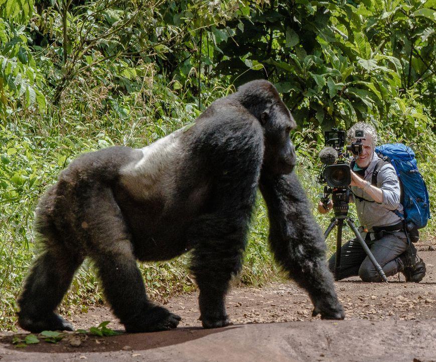 Beeindruckende Aufnahmen: Tierfilmer Gordon Buchanan begibt sich tief in den kongolesischen Dschungel, um dort die seltenen Flachlandgorillas vor di... - Bildquelle: Patrick Evans BBC/Patrick Evans 2015