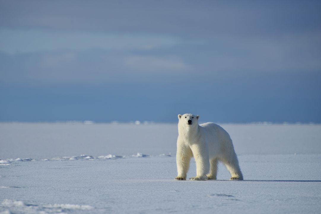 Auf seiner besonderen Reise mit einer wilden Eisbärenfamilie, bietet Kameramann Gordon Buchanan einzigartige Momentaufnahmen ... - Bildquelle: Gordon Buchanan