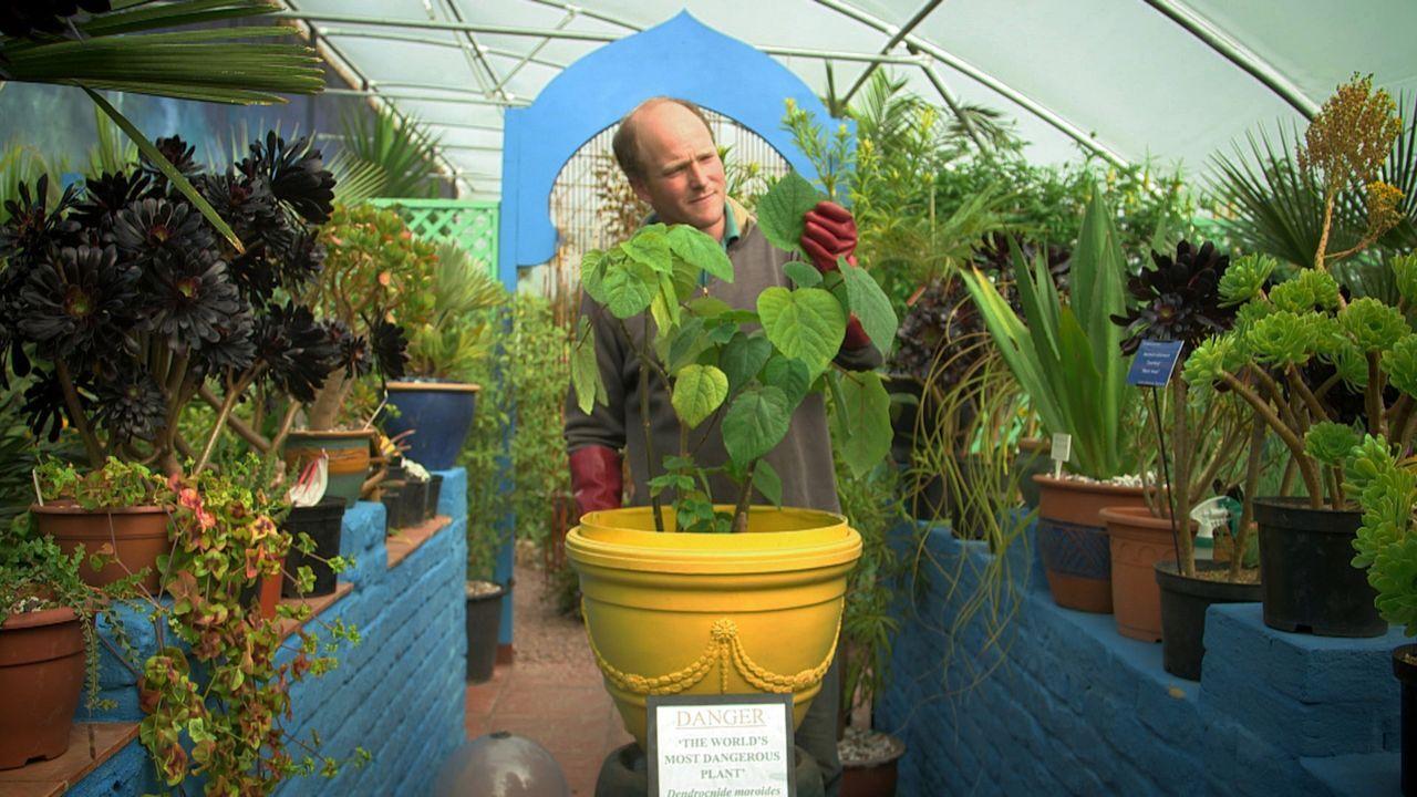 Ist sie eine der gefährlichsten Pflanzen der Welt? Die australische Brennessel von Tom Hart Dyke (Foto) gilt als die am stärksten hautreizende Pflan... - Bildquelle: BBC