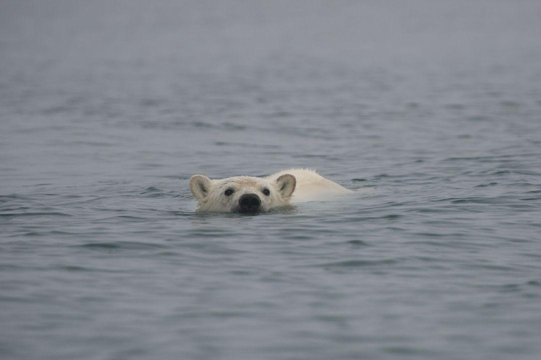 Ein einzigartiges Erlebnis wartet auf Kameramann Gordon Buchanan, als er eine wilde Eisbärenfamilie über mehrere Monate hinweg begleitet ... - Bildquelle: Gordon Buchanan