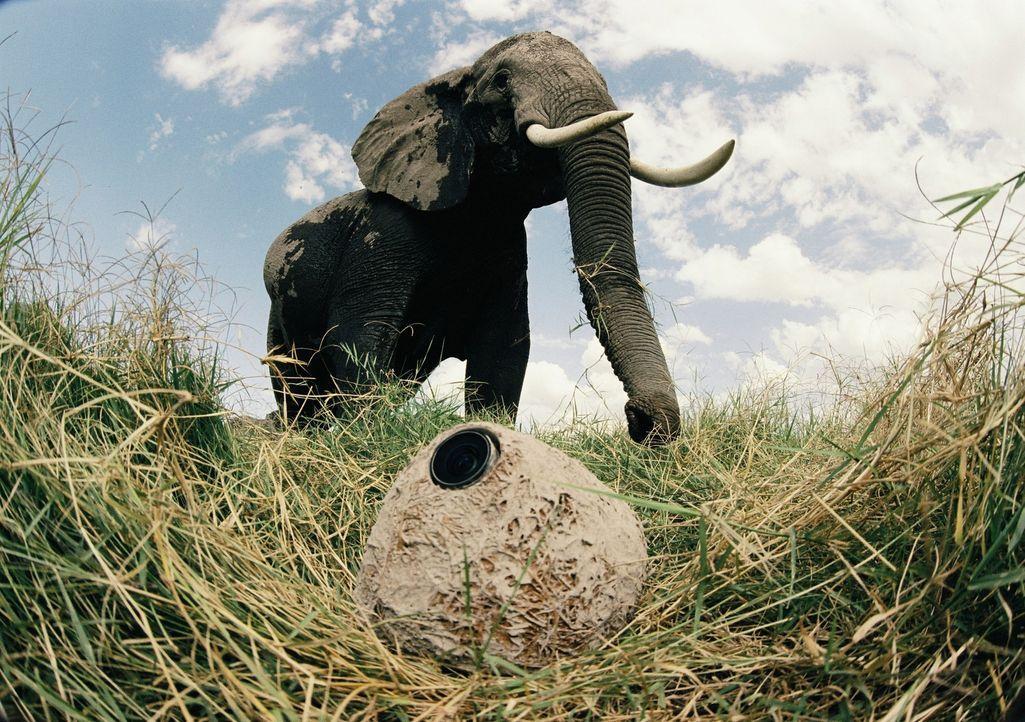 Um diese einmaligen und außergewöhnlichen Bilder einer afrikanischen Elefantenherde zu erhalten, versteckten Tierfilmer die Kameras im Elefanten-Kot... - Bildquelle: John Downer John Downer Productions