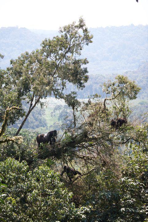 Wie verhalten sich Gorillas im Familienverbund? Warum eskaliert ein Streit zwischen zwei Silberrücken? Tierfilmer Gordon Buchanan reiste für die BBC... - Bildquelle: Patrick Evans BBC/Patrick Evans 2015