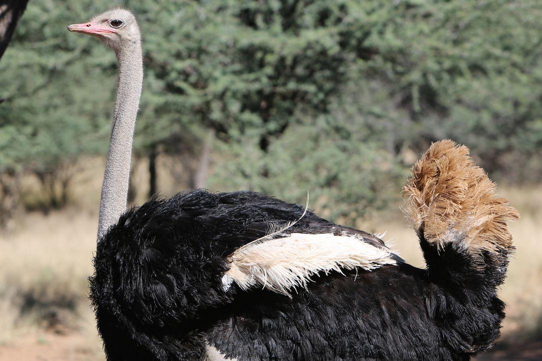 """Strauß, Emu, Kasuar, Nandu und der Kiwi - diese """"bodenständigen"""" Vögel wurden von der Natur mit einem außergewöhnlichen Federkleid und völlig zweckl... - Bildquelle: Mike Birkhead 2015 BBC"""