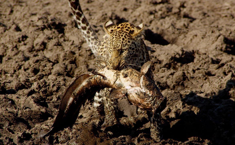 Eine Leopardin auf Fischfang: Zwei Jahre lang begleitet der Kameramann Brad Bestelink die Leoparden von Savuti. Er wird Zeuge, wie eine Leoparden-Mu... - Bildquelle: Brad Bestelink Icon Films / Brad Bestelink