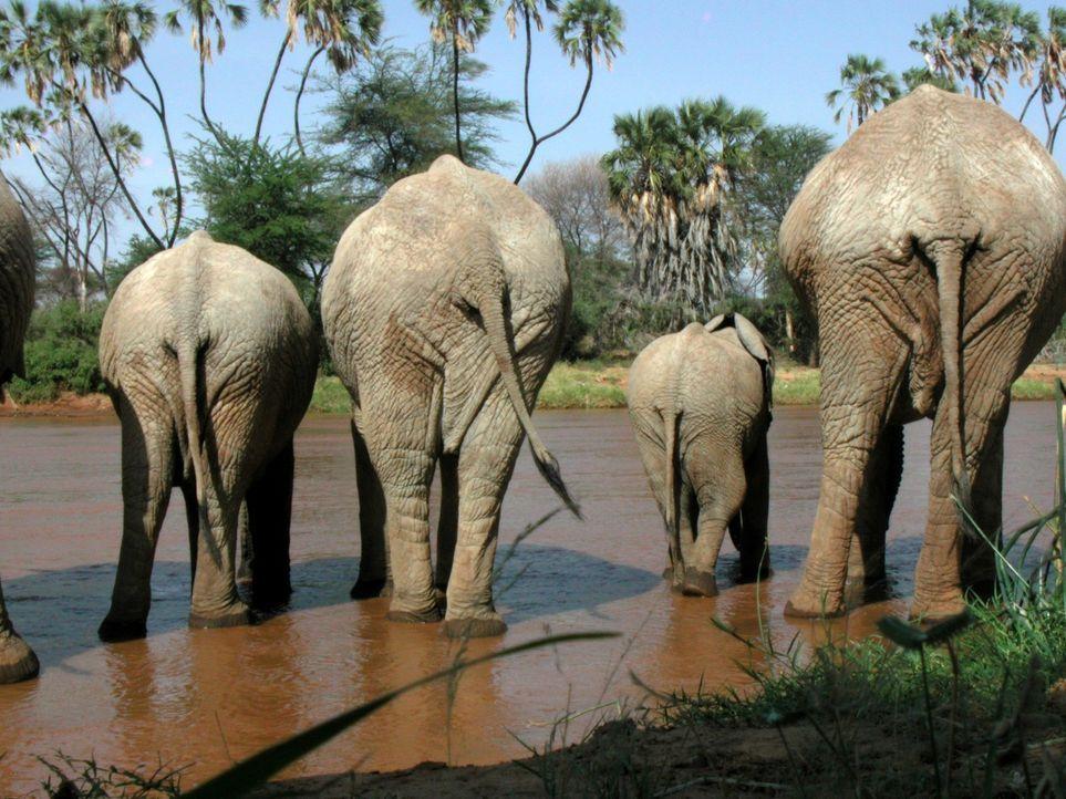 Faszinierend: Elefanten zeigen viele menschliche Gemeinsamkeiten wie Lebensdauer, Sozialstruktur, Weisheit des Alters und emotionale Bindungen. - Bildquelle: John Downer John Downer Productions
