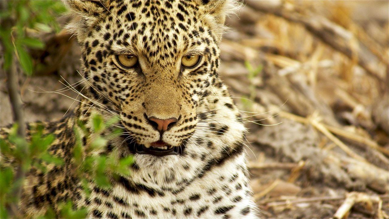 Wachsam lauert die Leoparden-Mutter im Okavango-Delta in Botswana auf ihre Beute. Sie ist auf der Suche nach Nahrung, um ihre beiden Jungtiere zu er... - Bildquelle: Brad Bestelink Icon Films / Brad Bestelink