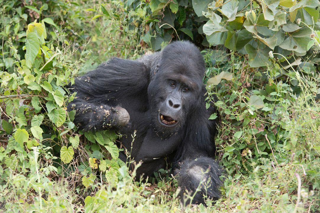 Tierfilmer Gordon Buchanan kehrt in die Demokratische Republik Kongo zurück, um nach seiner Gorilla-Familie zu schauen: Kann Rivale Mugaruka (Foto)... - Bildquelle: Patrick Evans BBC/Patrick Evans 2015