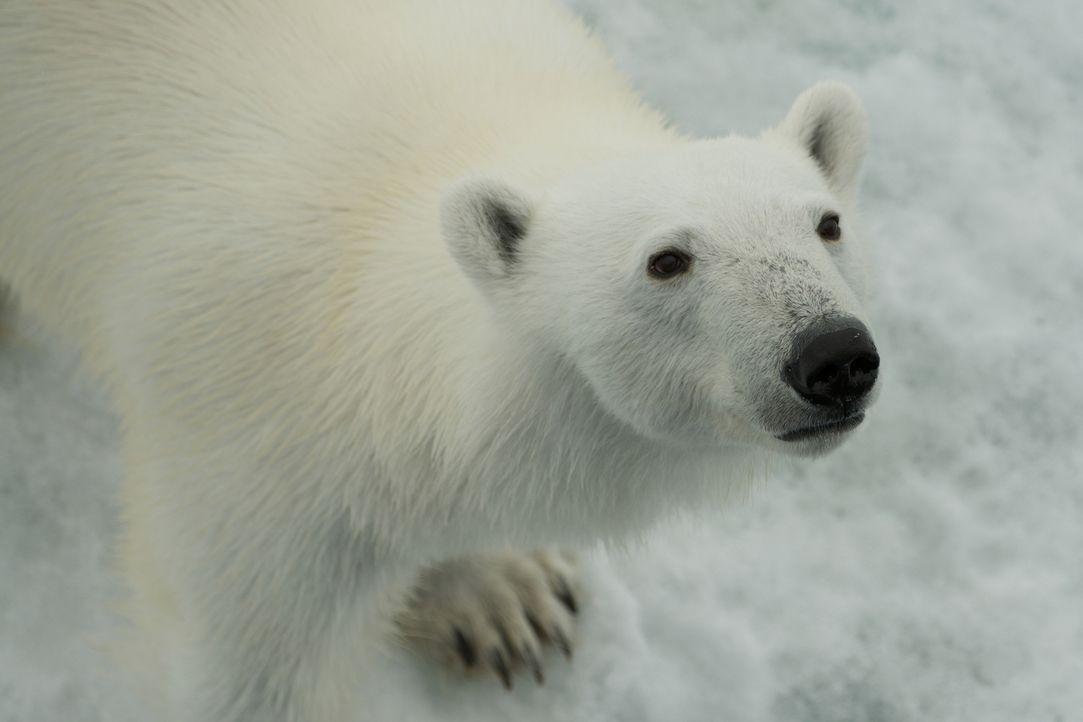 Gordon Buchanan begleitet eine wilde Eisbärenfamilie über weite Distanzen durch Schnee und Eis der Svalbard Inseln und gewinnt dabei einmalige Einbl... - Bildquelle: Gordon Buchanan