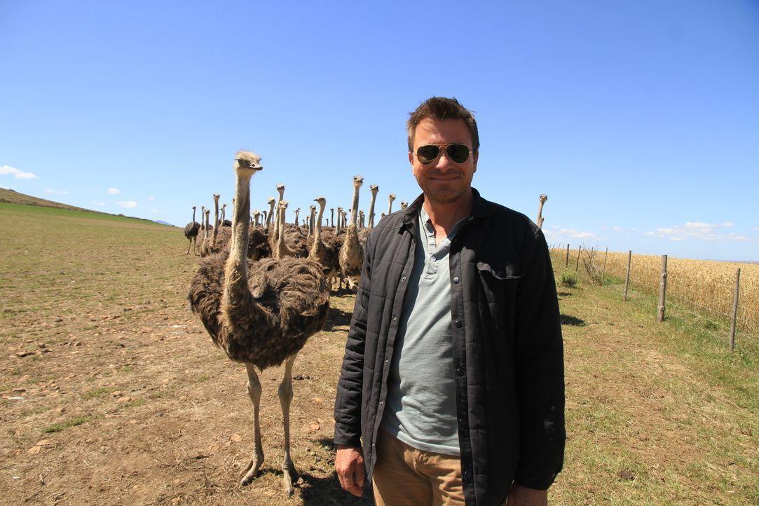Auf der Skeiding Guest Farm in Heidelberg, Südafrika macht Jack Maxwell eine Begegnung mit den größten lebenden Vögeln der Welt - den afrikanischen... - Bildquelle: 2014, The Travel Channel, L.L.C. All Rights Reserved.